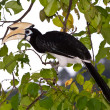 Hornbill in the trees — Stock Photo
