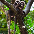 Dusky leaf monkeys sitting in a tree — Stock Photo