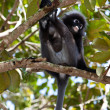 Dusky leaf monkey sitting in a tree - Foto de Stock