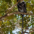 Dusky leaf monkey sitting in a tree — Stock Photo