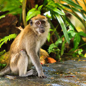 Macaque monkey sitting on the ground — Stock Photo