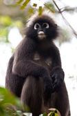 Dusky leaf monkey sitting in a tree — Stock Photo