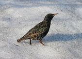 Common Starling (Sturnus vulgaris) — Stock Photo