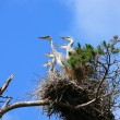 Nestlings of Grey Heron (Ardea cinerea) — Stock Photo