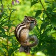 Siberian Chipmunk (Tamias sibiricus) — Stock Photo