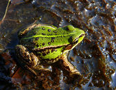 Marsh frog (Rana ridibunda) — Stock Photo