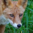 The red fox (Vulpes vulpes) — Stock Photo