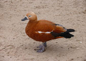 The Ruddy Shelduck (Tadorna ferruginea) — Stock Photo
