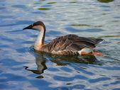 The Swan Goose (Anser cygnoides) — Stock Photo