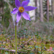 The Pasque flower (Pulsatilla patens) — Stock Photo