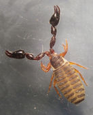 The Book Scorpion (Chelifer cancroides) — Stock Photo