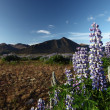 Flower of Iceland — Stock Photo