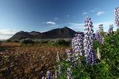 Flower of Iceland — Stock Photo