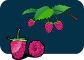 Raspberry — Stock Vector