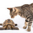 Striped cat examines land turtle — Stock Photo