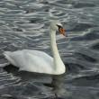 White swan — Stock Photo #7312738
