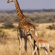 Постер, плакат: Young Giraffe With Mother