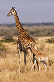 Young Giraffe With Mother — Стоковое фото