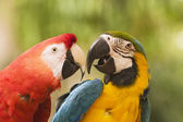Two Macaws Together — Stock Photo
