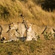 Four Cheetah On Safari — Stock Photo