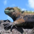 Colorful Marine Iguana On Rock - Stock Photo