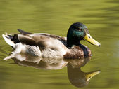 Swimming Duck In Pond — Stock Photo