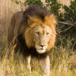 Stock Photo: Stalking Wild Lion, On Safari