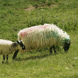 Irish Ewe and Lamb — Stock Photo