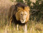 Stalking Wild Lion, On Safari — Stock Photo