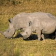 Mother and Baby White Rhino — Stock Photo