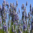 Lavender Blossoms — Stockfoto