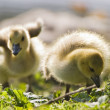 Stock Photo: Two Baby Geese