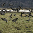 Geese In Flight — Stock Photo