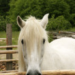 White Pony In Corral — Stock Photo