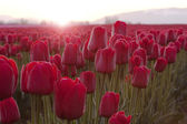 Red Tulips At Sunrise — Stock Photo