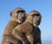 Two Baboons Together — Stock Photo