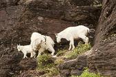 Family of Mountain Goats — Stock Photo