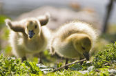 Two Baby Geese — Stock Photo