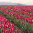 Stock Photo: Rows Of Red Tulips