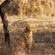 Young Cheetah Cub — Stock Photo