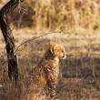 Young Cheetah Cub - Stock Photo