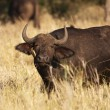 Cape Buffalo With Oxpecker - Stock Photo