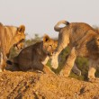 Stock Photo: Three Lion Cubs At Play
