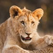 Male Lion Cub At Rest — Stock Photo