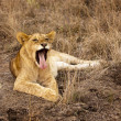 Lion Cub Yawning With Tongue — Stock Photo