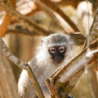Stock Photo: Vervet Monkey Watching Me
