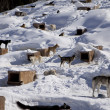 Stock Photo: Sled Dog Kennel