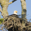 Stock Photo: Bald Eagle In Nest