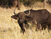 Cape Buffalo With Oxpecker — Stock Photo