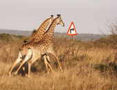 Two Giraffes With Right Turn Arrow — Stock Photo